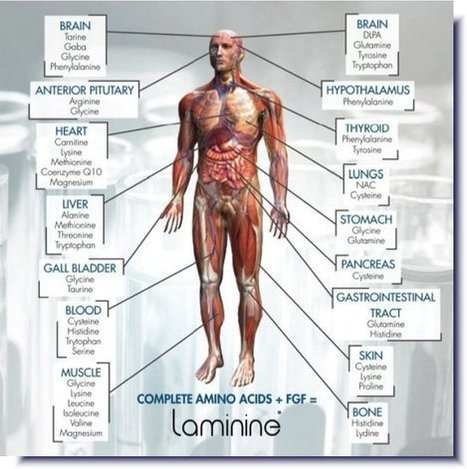 Laminine® Supplies ALL 22 Amino Acids | stemcell research | Scoop.it