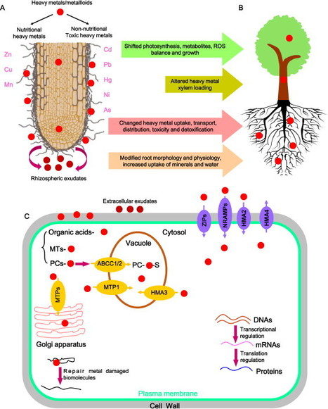 The role of ectomycorrhizas in heavy metal stress tolerance of host plants | Forecasting powdery mildew of grapevine | Scoop.it
