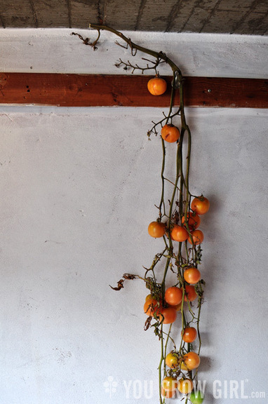 Tomatoes Worth Growing: 'Giallo a Grappoli' | Sustainibility | Scoop.it