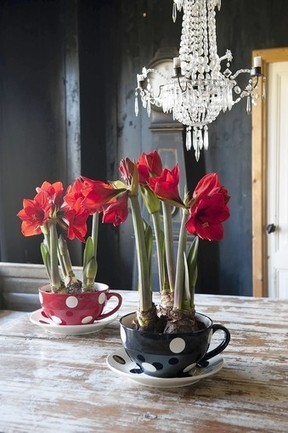 Amaryllis flowers herald the season, then keep on growing - Daily Press | Back Yard Gardening | Scoop.it