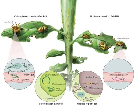 Insecticidal RNA, the long and short of it | Plant, Insect and Microbe Interactions | Scoop.it