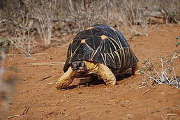 Urgent action needed to halt increased trafficking of critically endangered tortoises | Wildlife Trafficking: Who Does it? Allows it? | Scoop.it