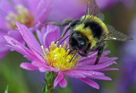 Quarter of Europe's bumblebee species risk extinction, study says | Sustain Our Earth | Scoop.it