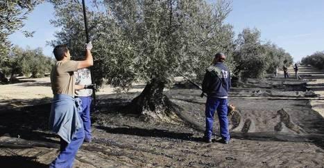 China quiere tener tantos olivos como Jaén | La empresa y la vida real | Scoop.it