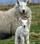 Comment se reproduit le mouton, la brebis ? - Blog de l'animalerie Zoomalia | PETS & ANIMAUX | Scoop.it