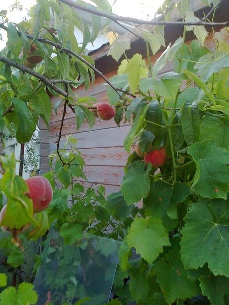 Pêches de vigne | The Blog's Revue by OlivierSC | Scoop.it