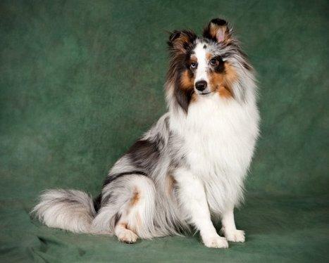 Le Berger Des Shetland - Cynoraces - Skyrock.com   chiens shetland   Scoop.it