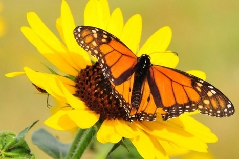 As pesticides wipe out Monarch butterflies in the U.S., illegal logging is doing the same in Mexico. | Sustain Our Earth | Scoop.it
