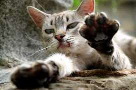 Quels sont les symptômes de la maladie des griffes du chat ?