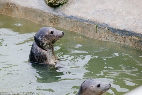 Two seal pups nearly decapitated by fishing nets are released   All about water, the oceans, environmental issues   Scoop.it