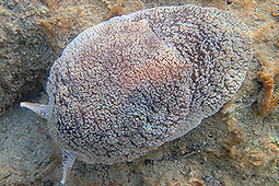 sea slug threat not eradicated - Auckland stuff.co.nz | Amocean OceanScoops | Scoop.it