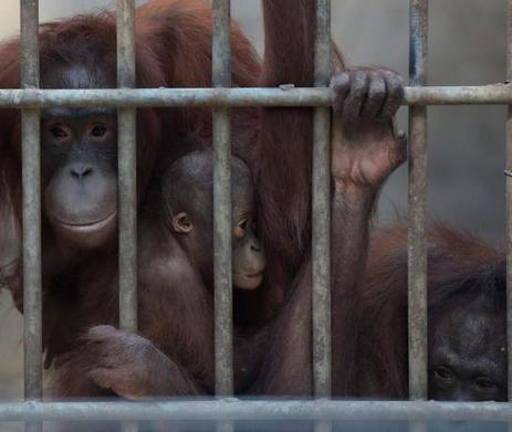 EN IMAGES. Ces orangs-outans attendent leur libération | Farming, Forests, Water, Fishing and Environment | Scoop.it