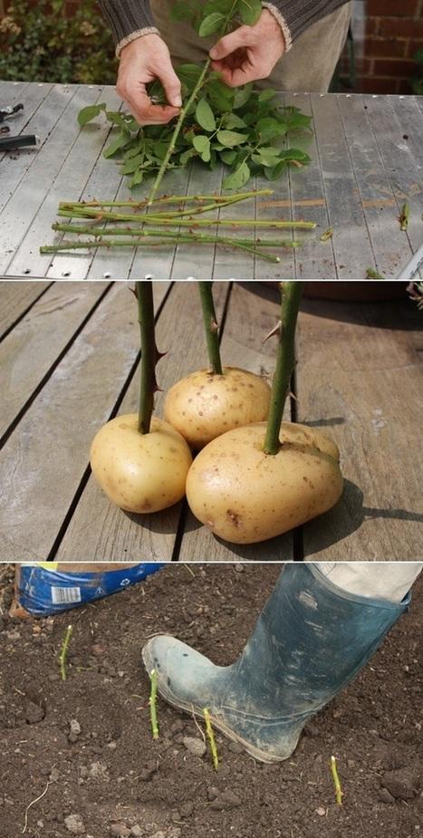 Growing Rose From Cutting | Backyard Gardening | Scoop.it