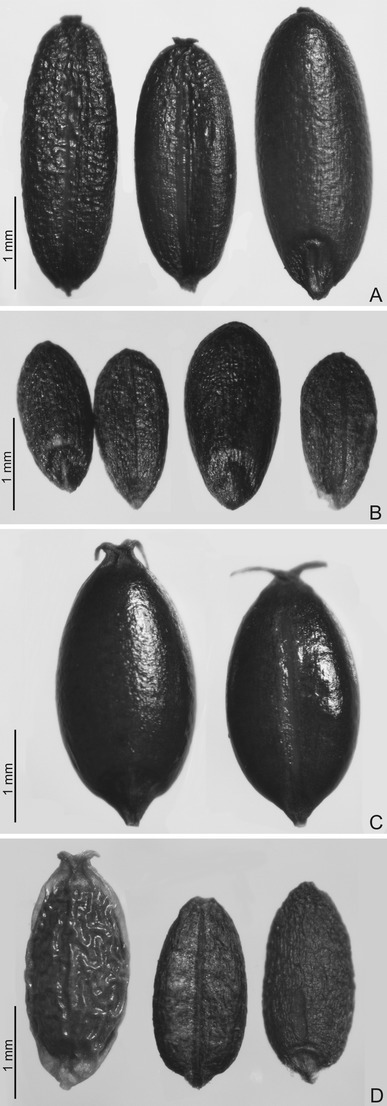 The Use and Economic Value of Manna grass (Glyceria) in Poland from the Middle Ages to the Twentieth Century   Archaeobotany and Domestication   Scoop.it