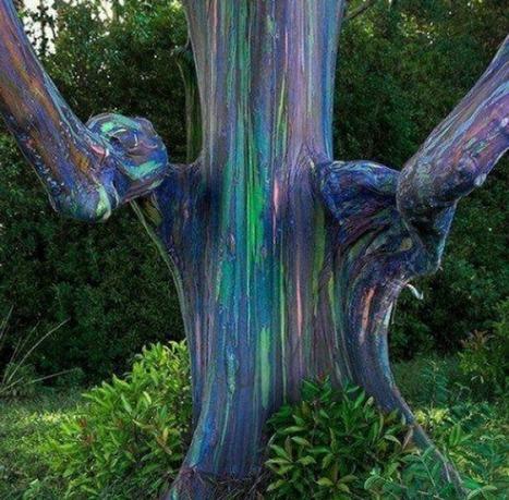 Ever heard of the rainbow eucalyptus tree? | The Frontier | Scoop.it