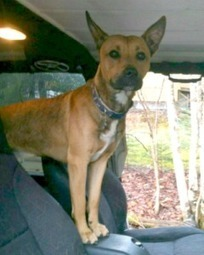 "LOST DOG: 192 Lakecrest Dr., Middle Sackville, Halifax Co., NS — Shepherd/AmStaff Mix, Male, 2 — ""Tucker"" 