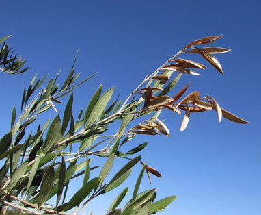 Xylella fastidiosa detected on olive in Argentina | Pest Alerts | Scoop.it