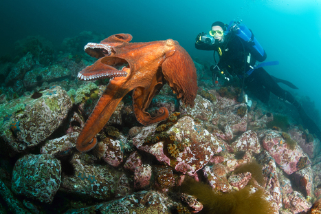 Thirteen Things To Know About Cephalopods - Scuba Diver Life | Internet hecho noticias | Scoop.it