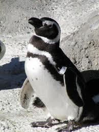 Penguins in Love and Giving Thanks to Turkeys | Animals R Us | Scoop.it