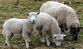 Schmallenberg virus found on 74 farms in England | MicrobiologyBytes | Scoop.it