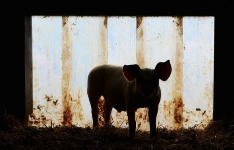 Mängel in der Schweinemast - Saumäßig krank | Ernährung | Scoop.it
