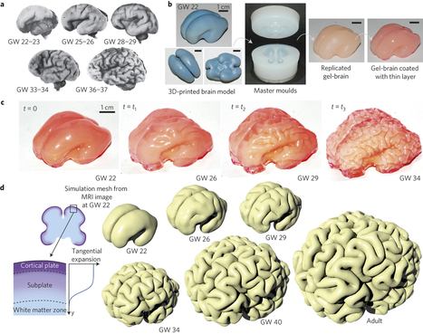 On the growth and form of cortical convolutions | Biobit: Computational Neuroscience & Biocomputation | Scoop.it