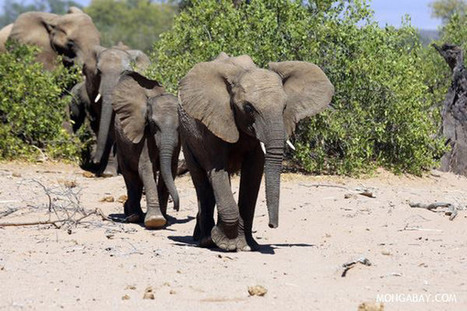 22,000 elephants slaughtered for their ivory in 2012 | World news | Scoop.it