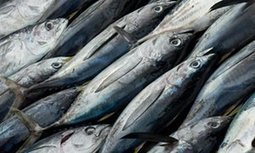 Global fish production approaching sustainable limit, UN warns | Lorraine's Sustainable Biomes (NSW) (including Food security) | Scoop.it