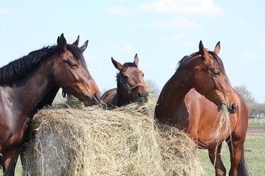 Equine Weight Loss: It's All in the Breeding | Equine Health | Scoop.it