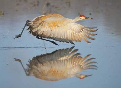 A majestic bird soars back: Sandhill crane rebounds from near extinction | Agua | Scoop.it