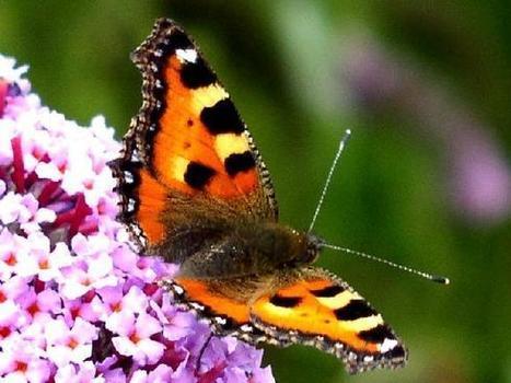 Saint-Germain-de-Joux : une formation sur les papillons de jour organisée par la Frapna   L'écologie politique dans l'Ain   Scoop.it