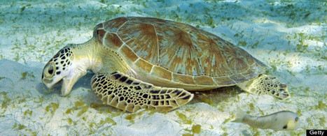 Sea #Turtles Eating #Plastic At unprecedented pace! #pollution | Rescue our Ocean's & it's species from Man's Pollution! | Scoop.it
