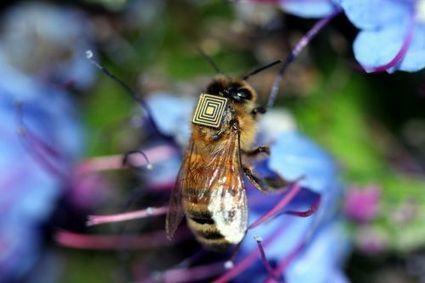 Des chercheurs équipent des milliers d'abeilles… avec des capteurs | Abeilles, intoxications et informations | Scoop.it