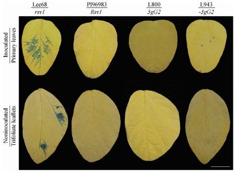 MPMI: The HC-Pro and P3 Cistrons of an Avirulent Soybean mosaic virus Are Recognized by Different Resistance Genes at the Complex Rsv1 Locus (2014) | Plants and Microbes | Scoop.it