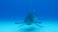 2013 Convention on Trade in Endangered Species - Yr of the #Shark | #scuba #oceans #ocean #scubadiving | ediving | Scoop.it