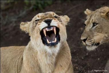 Return of Lions to Rwanda   Africa Travel Guide and Directory   Africa Travel Guide   Scoop.it