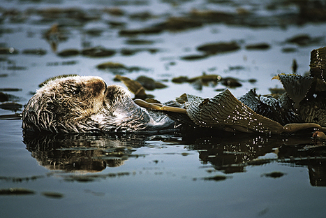 Another Reason to Save Sea Otters: They're Helping Fight Climate Change | GarryRogers NatCon News | Scoop.it