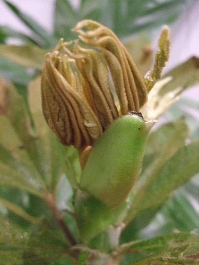 Alternative Eden Exotic Garden: Oreopanax floribundus | ExoticGardening | Scoop.it