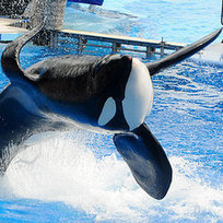 Why You Need To Know About #Blackfish | Ocean News | Scoop.it