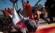 Black Fish activists vow to confront illegal tuna fishing in Mediterranean | Life on Earth | Scoop.it