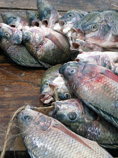 The Aquaculturists: 01/02/2016: Nutreco and African Century Foods announce fish feed joint venture in Zambia   Global Aquaculture News & Events   Scoop.it