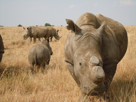 Does dehorning rhino stop the poachers, harm rhino? | What's Happening to Africa's Rhino? | Scoop.it
