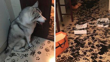 Seul à la maison, un husky profite de l'occasion pour relooker les lieux. Merci, fallait pas. | Veille pour rire ou sourire | Scoop.it