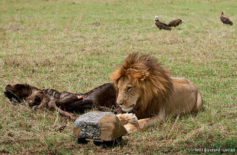 Smile Lions, You're on Beetle Camera - National Wildlife Federation | Wildlife News | Scoop.it