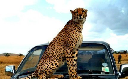 Cheetah Raised by Humans Who Loved Her Enough to Set Her Free | LIFE | Scoop.it