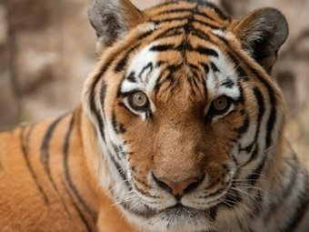 Tiger Genome Sequenced, Shows Big Cats Evolved to Kill - National Geographic | Billion Genomes Project | Scoop.it