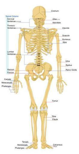 Kids science: List of Human Bones | The Body - Inside and Out | Scoop.it