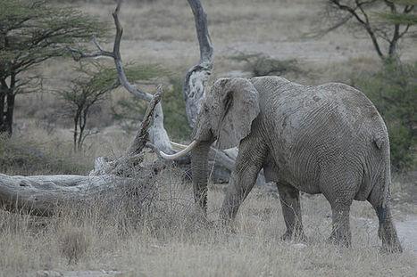Les éléphants distinguent les différentes langues humaines | News insolites | Scoop.it