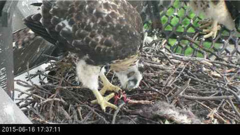 Watch red-tailed hawk fledglings about to fly at Cornell Lab of Ornithology: Video - NOLA.com | Cornell | Scoop.it