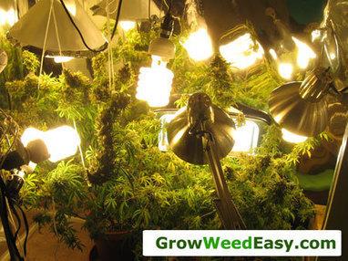 Easy Cheap Grow Guide W Cfl Grow Lights Gr